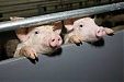 International conference on spread of African swine fever in Europe to take place in Riga this week