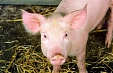 First case of African swine fever found in Latvian sea-side resort town Jurmala