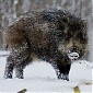 First case of ASF in wild boars found in Ventspils