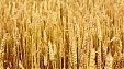 Food wheat price increases 21% in December 2018 on December 2017