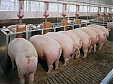 Lithuania resumes pig exports to Poland