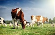 Number of dairy herds in Latvia drops 10.4% over past year