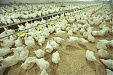Kekava poultry farm reports 12% increase of Latvian sales in June
